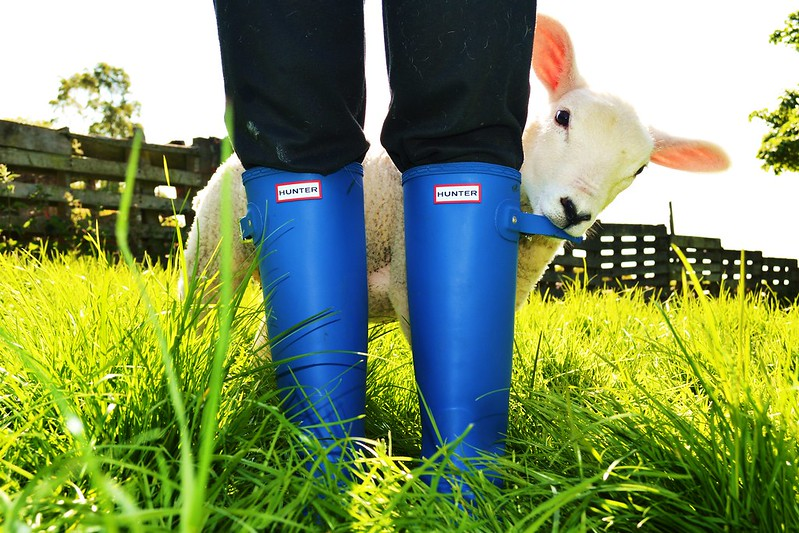 Young lamb chewing on Blue boots