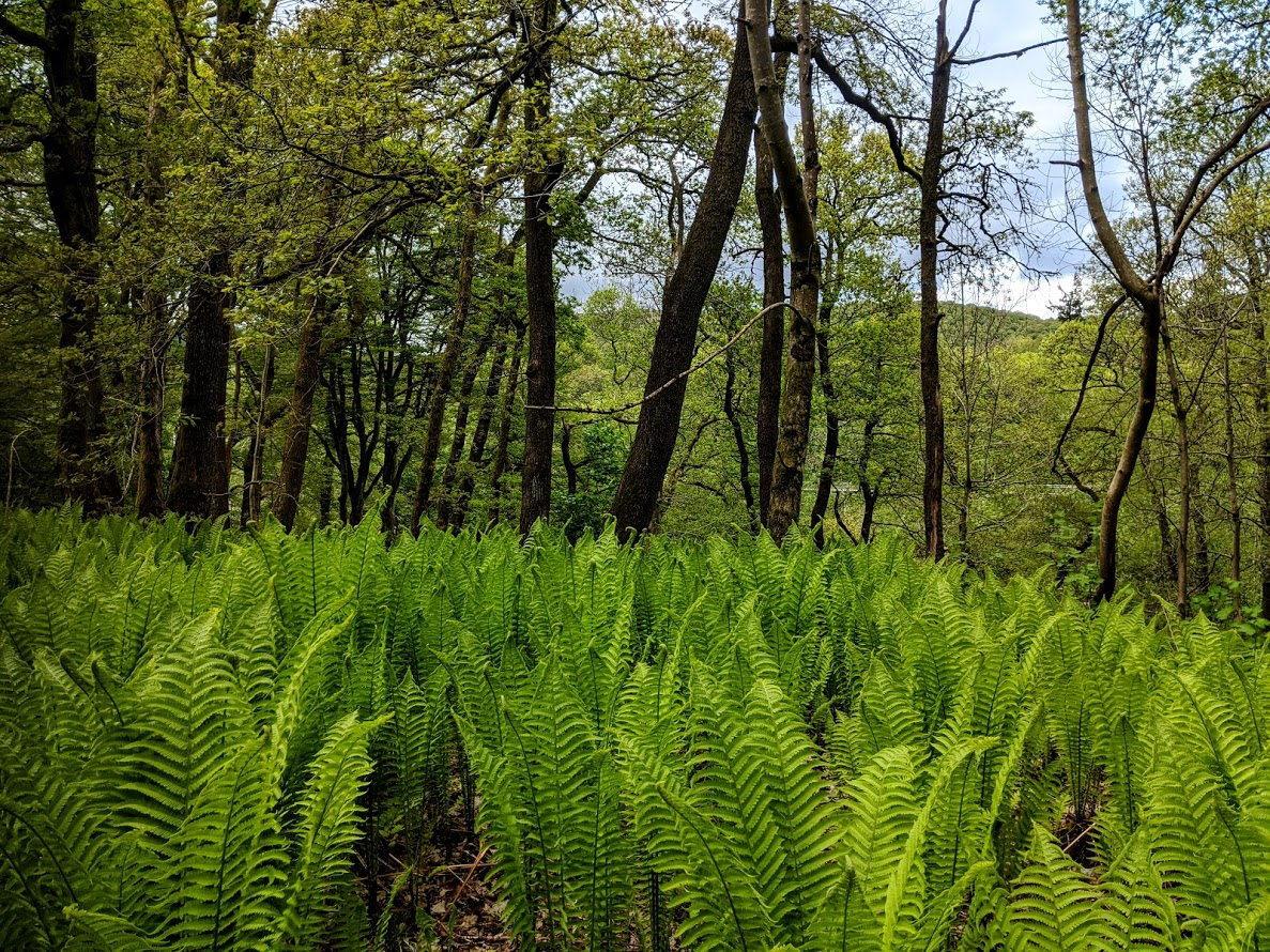 Trees and ferns in woodland