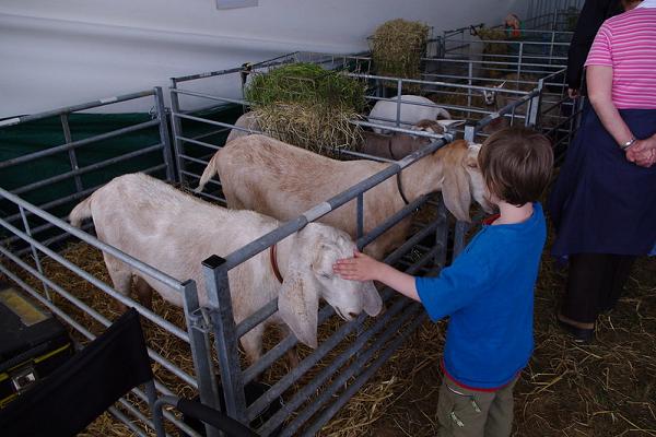 Show goats - SRN Flickr