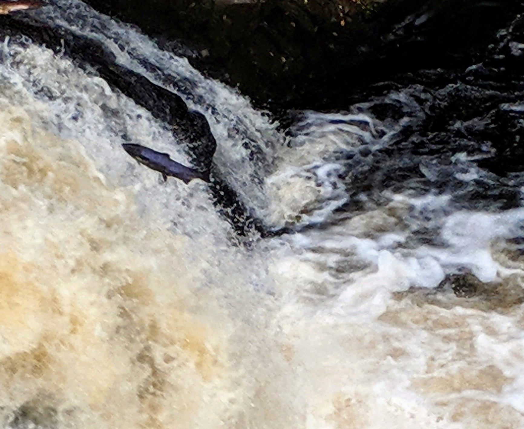 Salmon leaping in water