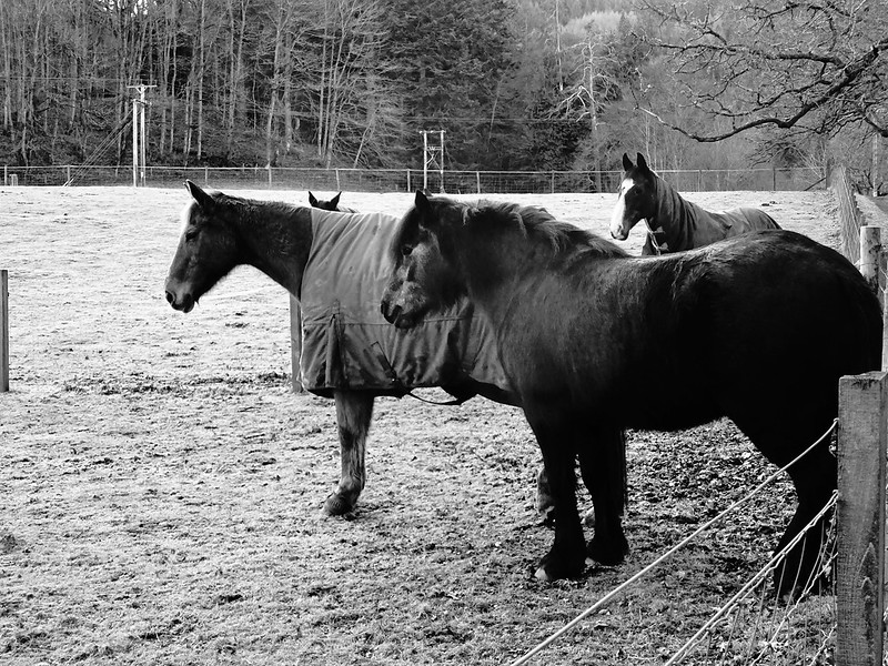 Black and white picture of 4 horses standing in a wintery field