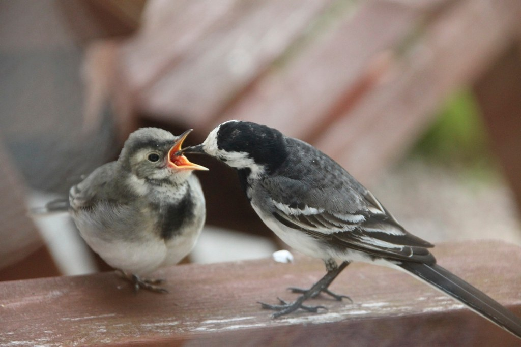 Wagtail chick being fed by parent