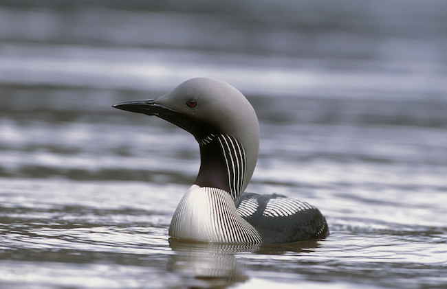 Black throated diver copyright Laurie Campbell, SNH