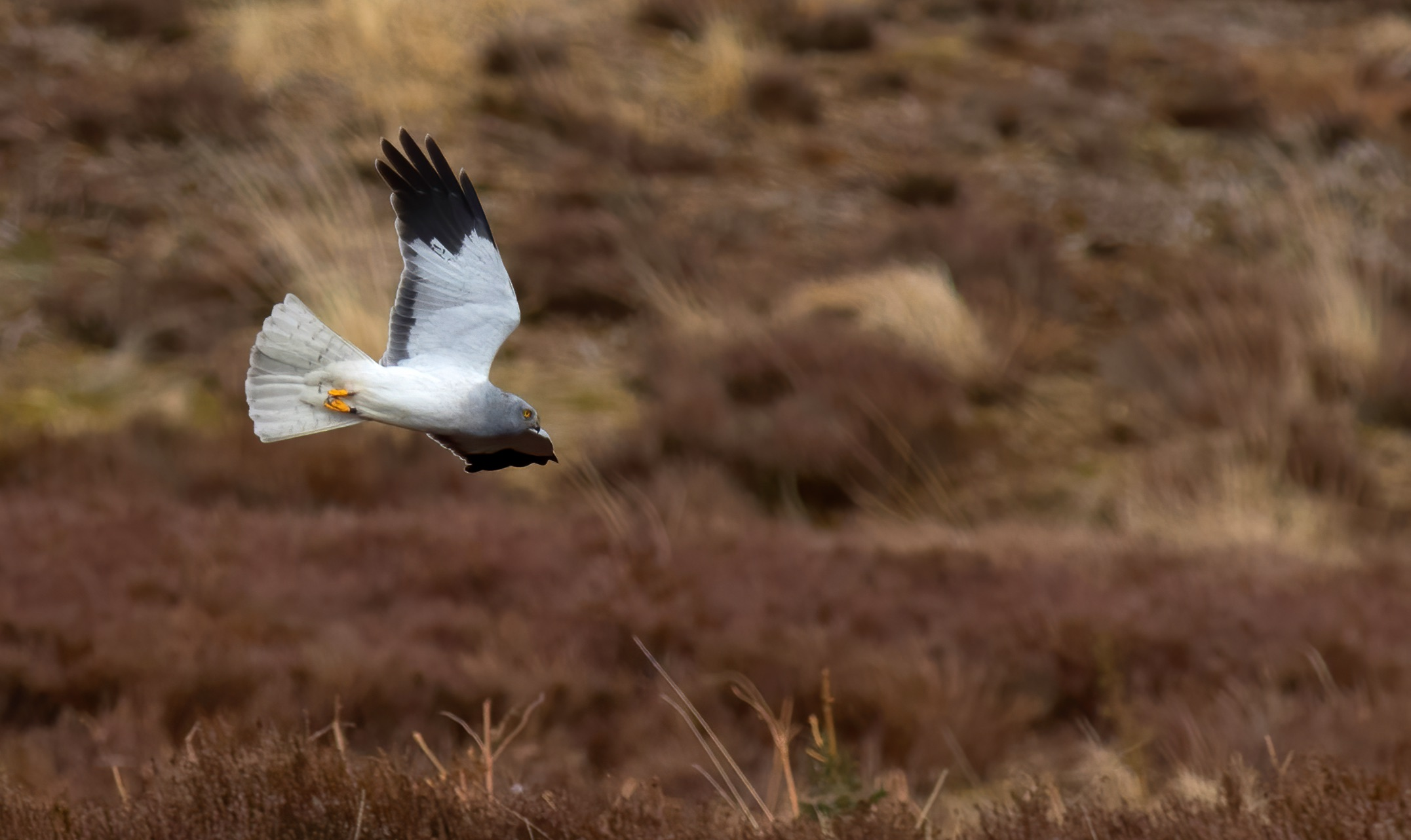 Male Hen Harrier at Langholm copyright John Wright