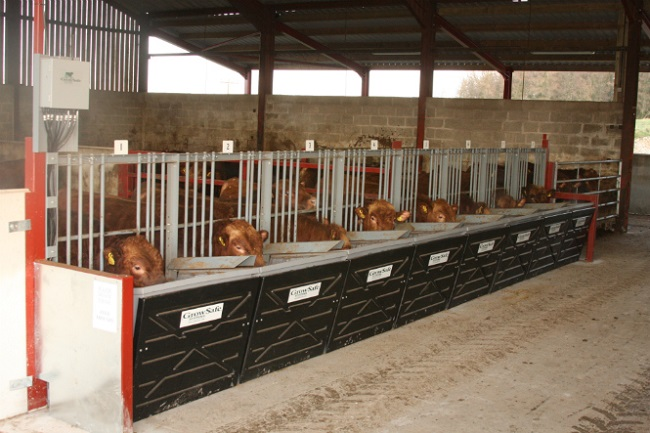 Cows in stall