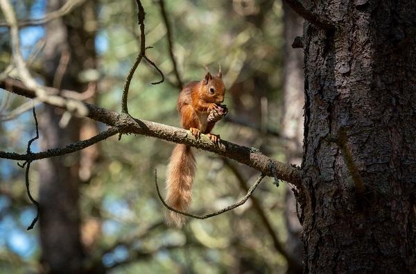 Red squirrel eating copyright Chris Aldridge