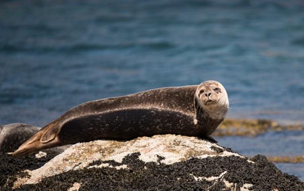 Seal by Staffa By Ramon Vloon on Unsplash