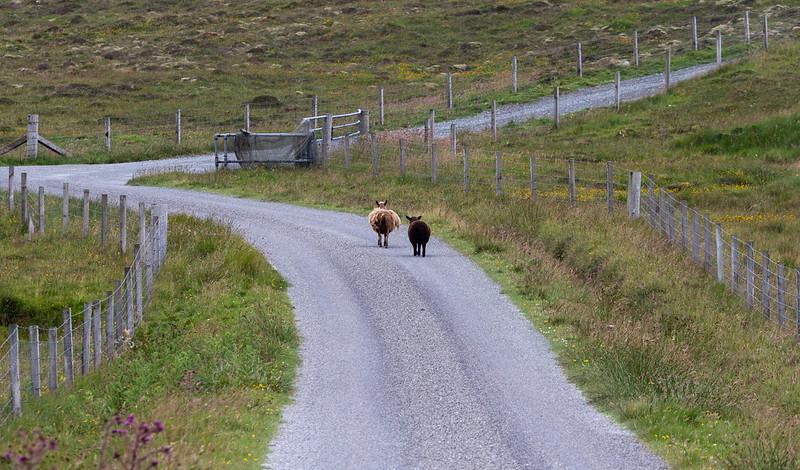 Two sheep walking along rural road © Rural matters