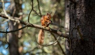Red squirrel eating copyright Chris Aldridge