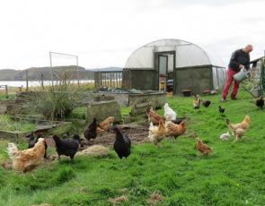 Man feeding chickens on croft