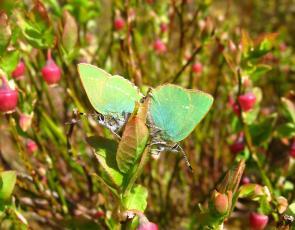 Two green butterflies on blaeberry bush