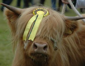 Highland cow with prize-winning rosette