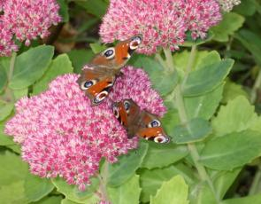 Two red admiral butterflies on pink flowers