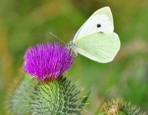 Butterfly on thistle, photo by Graham Niven