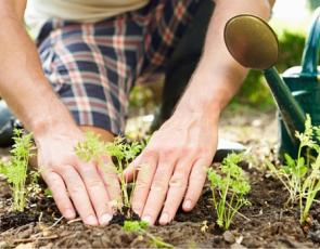 Man kneeling on ground planting plant