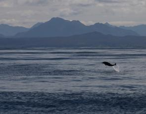 Common Dolphin, Hebrides copyright HWDT