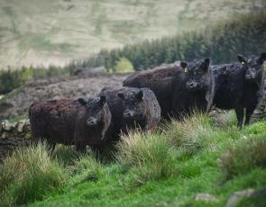 Galloway cattle, credit Ian Findlay