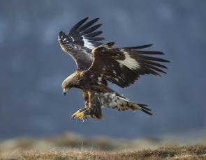Golden eagle © Mark Hamblin  scotlandbigpicture.com (medium)