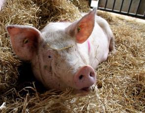 Large White x Landrace Pig. Traquair Farms, Dalkeith. Photographer - Sarah Wood. Crown Copyright.