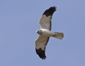 Male Hen Harrier, Langholm - copyright John Wright