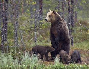 Bear with cubs in forest