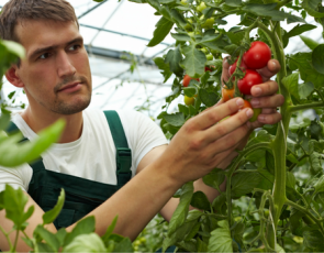 Young farmer looking at tomatoes