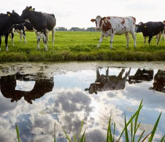 Cows in field with reflection in water