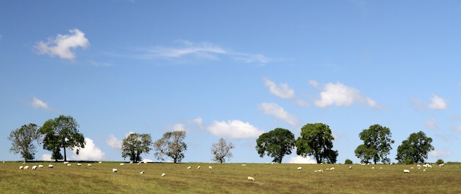 sheep in field with trees and white sky