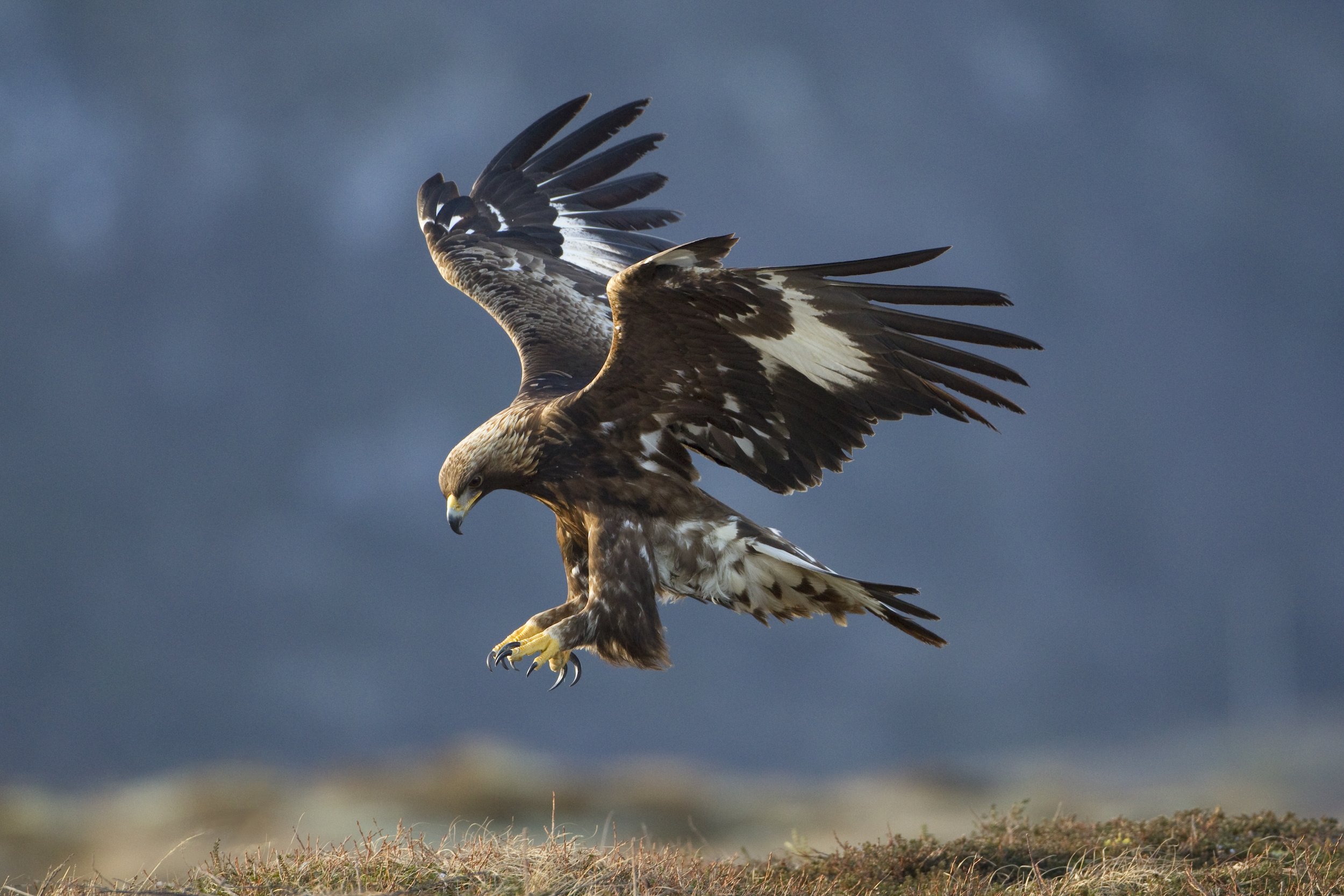 Golden eagle © Mark Hamblin  scotlandbigpicture.com (medium)