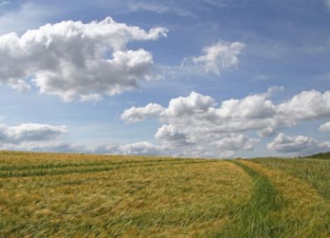 Winter barley field