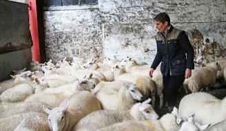 Farmer in shed with sheep