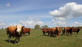 Cattle on Williamwood Farm, Scotland. Photographer - Matt Cartney. Crown Copyright.