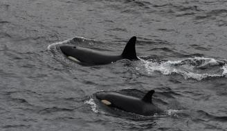 POD OF ORCAS SIGHTED CLOSE TO SHORE ON MAY 25TH OFF BURWICK. COPYRIGHT: ROBERT FOUBISTER.