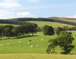 Sheep with trees in field