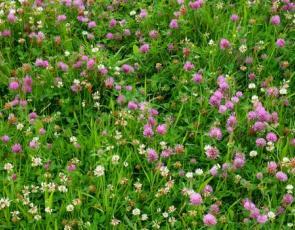 clover in a field