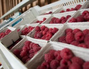 Close up of punnets of raspberries. Produce on sale at Craigie's Farm. Crown copyright. Photographer - Barrie Williams.