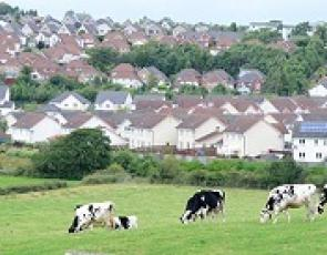 Cows in field with houses in background