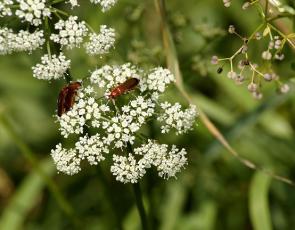 beetles on wild carrot plant