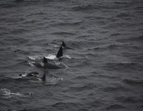 Orcas, copyright Colin Baird