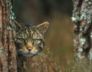 Scottish wildcat behind tree