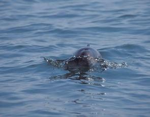 Harbour porpoise, Mick Baines/ Sea Watch Foundation