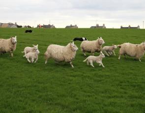 sheep running in field