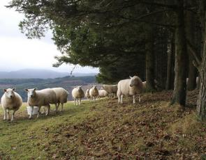 Sheep beside forest
