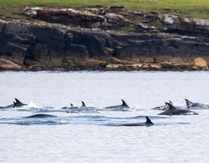 A pod of atlantic white sided dolphins