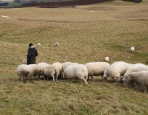Farmer feeding sheep in field