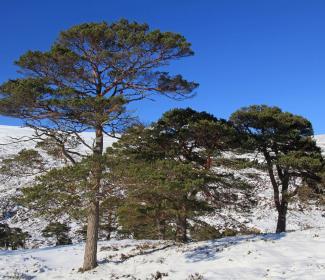 CaledonianPineTrees